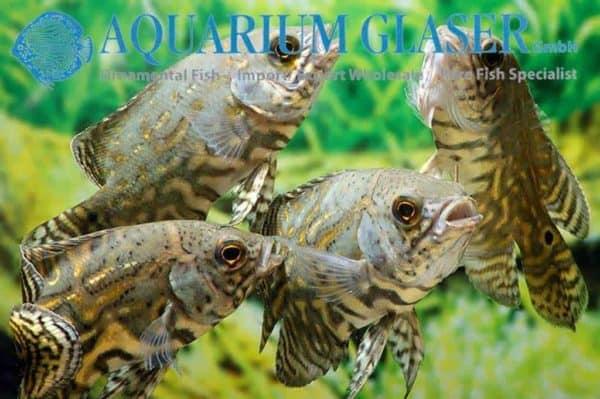 Groep Astronotus ocellatus - Pauwoog Cichlide - Juveniel