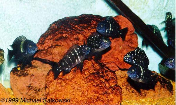 Tropheus duboisi - School of juveniles just before they get their adult colours