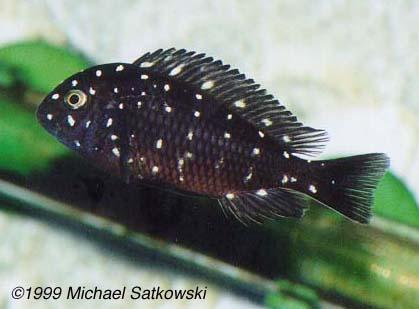 Tropheus duboisi - Juveniles