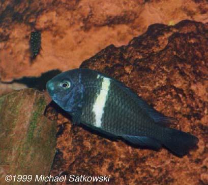 Tropheus duboisi - Female