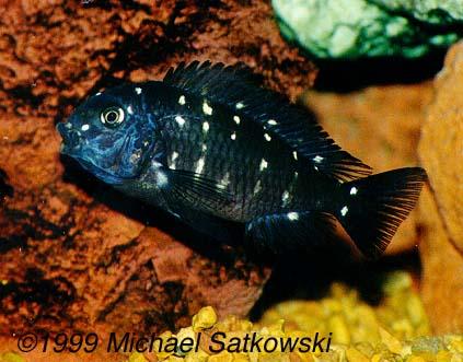 Tropheus duboisi - Juvenile male - getting some colour