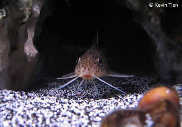 Synodontis multipunctatus - Cuckoo Catfish