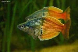 Melanotaenia boesemani - Male