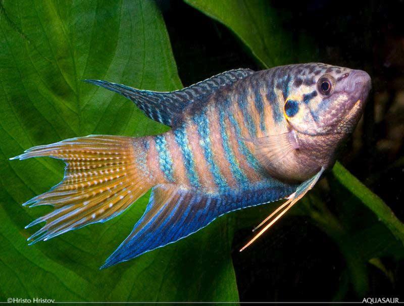 Macropodus operacularis - Adult male - Aquarium strain