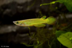 Aplocheilidae