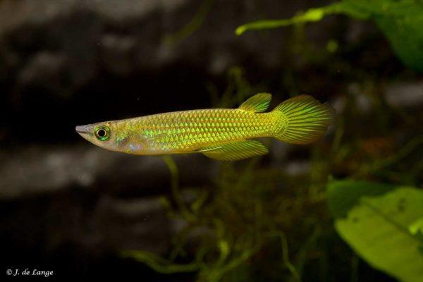 Aplocheilus lineatus - Striped Panchax - Gold - Male