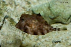 Lactoria cornuta - Longhorn Cowfish
