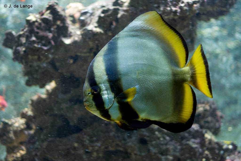 Platax orbicularis - Orbicular Batfish