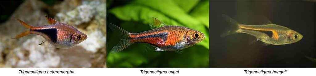 Difference Trigonostigma heteromorpha - espei - hengeli