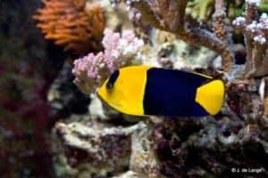 Centropyge bicolor - Bicolor Angelfish