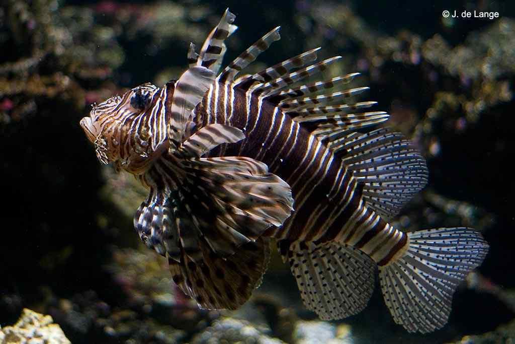 Pterois volitans - Red Lionfish