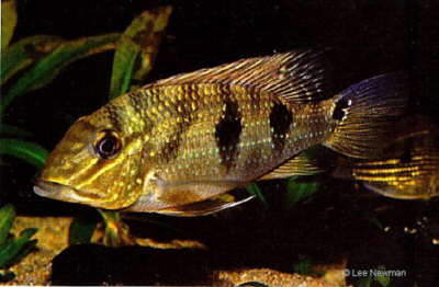 Satanoperca daemon - Spotted Demonfish