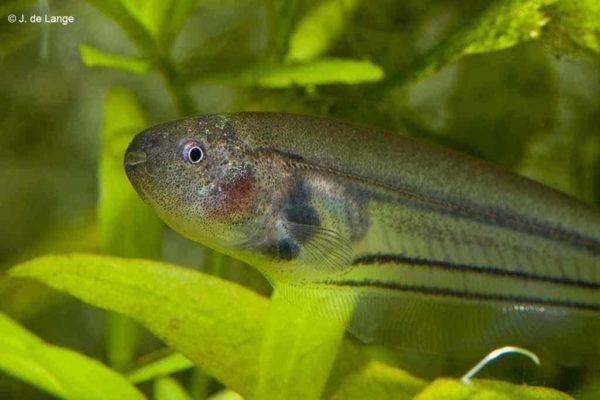 Eigenmannia virescens - Glass Knifefish Closeup of the head