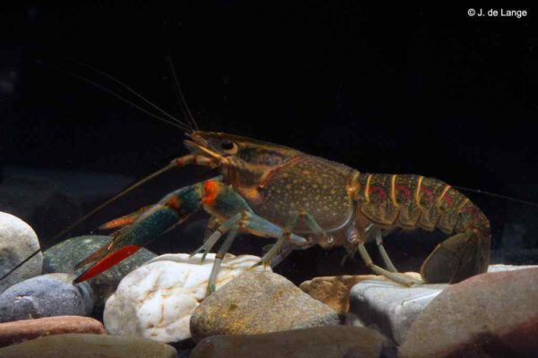 Cherax quadricarinatus - Redclaw Crayfish