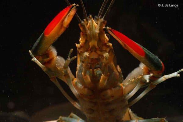 Cherax quadricarinatus - Roodschaarkreeft