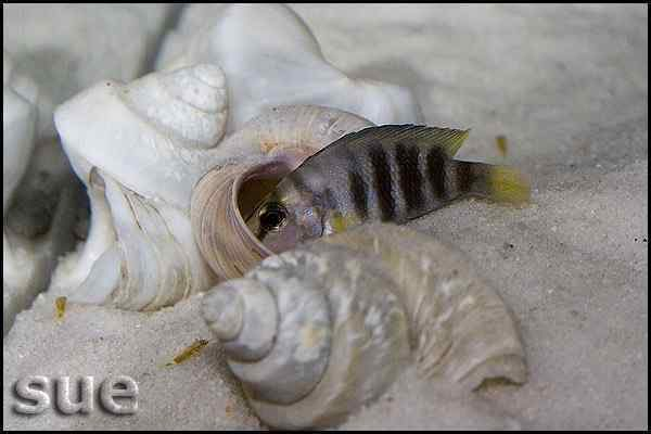 Altolamprologus Compressiceps Shell - Cape Kachese - female with fry