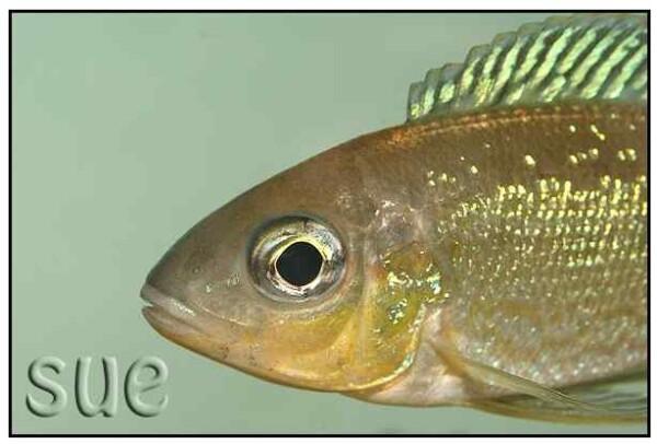 Cyathopharynx foai - Mbita - Close up