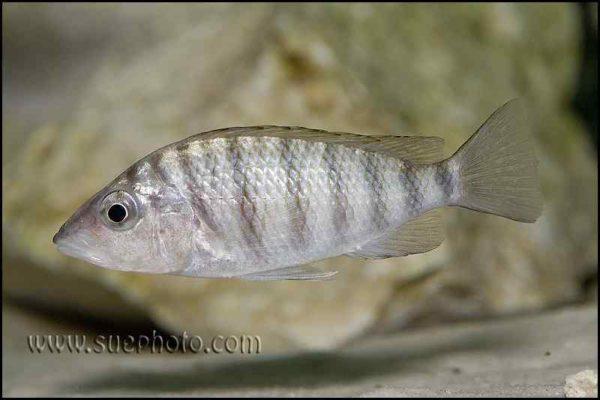 Gnathochromis pfefferi - Chaitika - Female