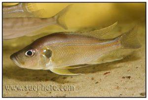 Greenwoodochromis belcrossi - Chituta Bay