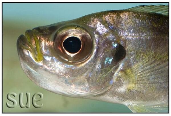 Haplotaxodon trifasciatus - Close up