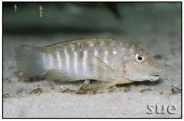 Spathodus erythrodon - Kapampa