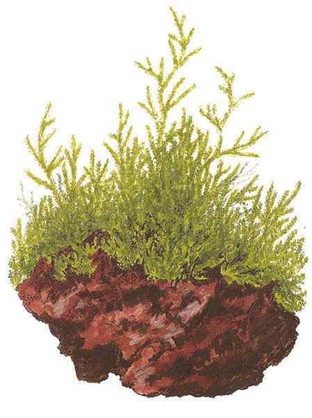 Taxiphyllum barbieri - Java Moss