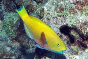 Chlorurus gibbus - Heavybeak Parrotfish