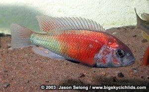 Ptyochromis