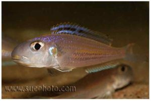 Xenotilapia bathyphilus - Chimba - Male