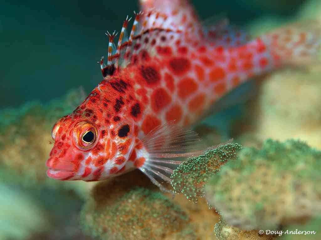 Cirrhitichthys oxycephalus - Coral Hawkfish