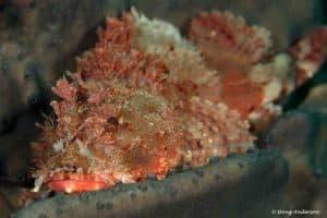 Scorpaena papillosa - Red Rock Cod