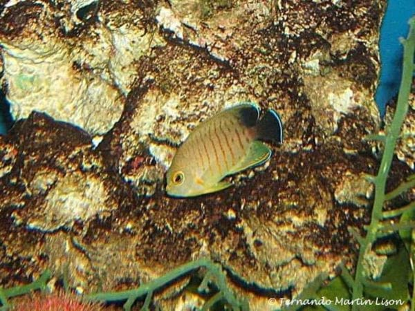 Centropyge eibli - Blacktail Angelfish