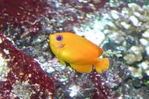 Centropyge flavissima - Lemonpeel Angelfish