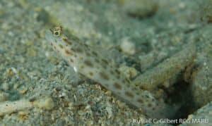 Ctenogobiops pomastictus - Gold-Specked Prawn-Goby