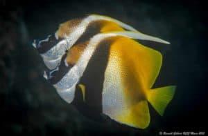 Heniochus monoceros - Masked Bannerfish