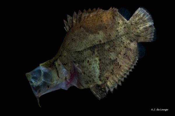 Monocirrhus polyacanthus - Amazon Leaffish