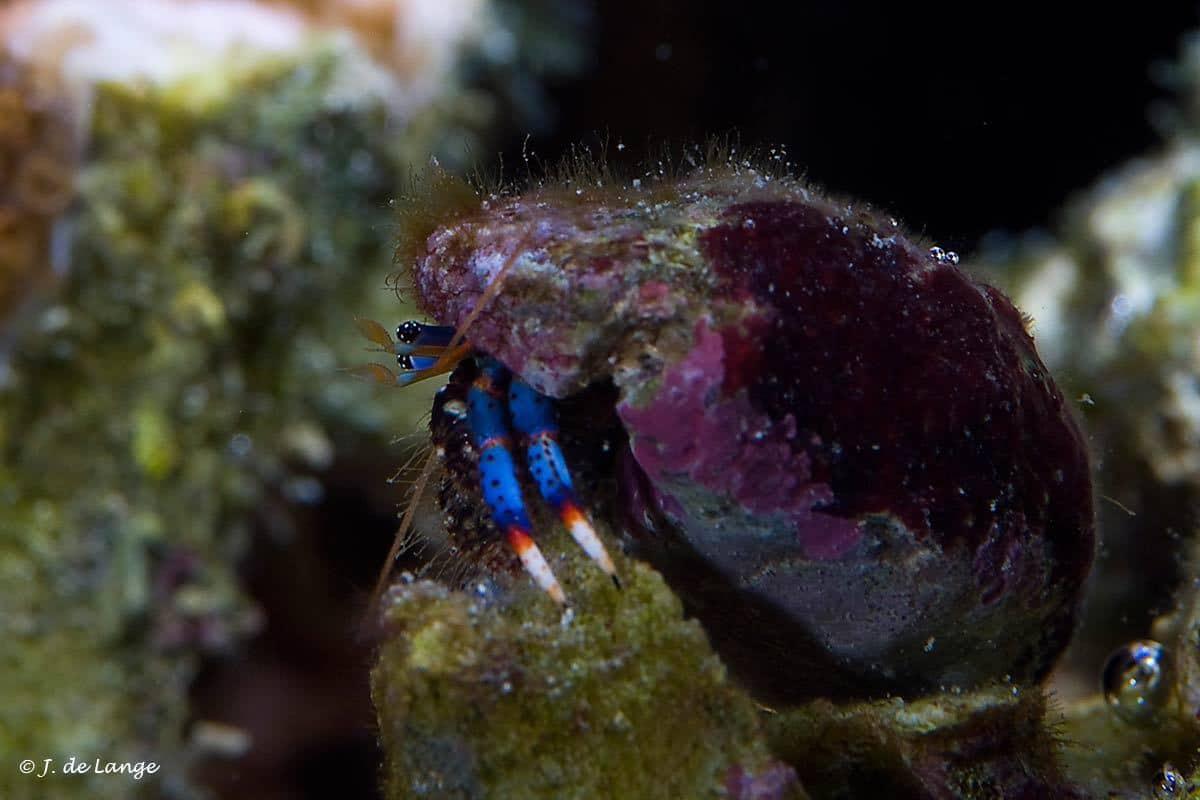 Clibanarius tricolor - Tricolor Hermit Crab
