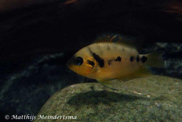 Amatitlania altoflava - Female