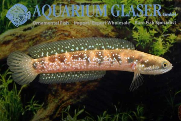 Channa asiatica - Chinese Snakehead 1