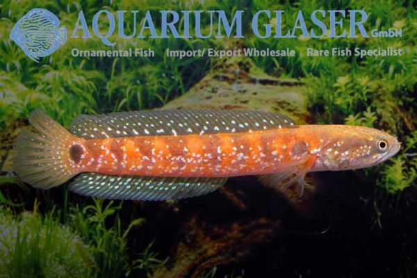 Channa asiatica - Chinese Snakehead 2