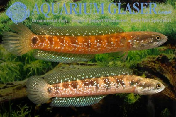 Channa asiatica - Chinese Snakehead 3