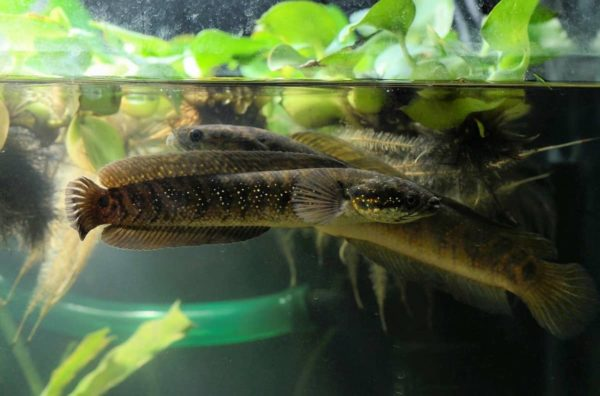 Channa asiatica - Chinese Snakehead