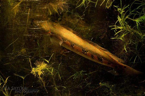 Channa marulius - Bullseye Snakehead - Great Snakehead 5