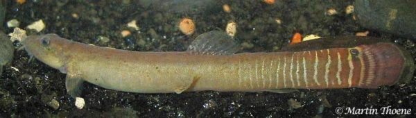 Aborichthys elongatus - Male