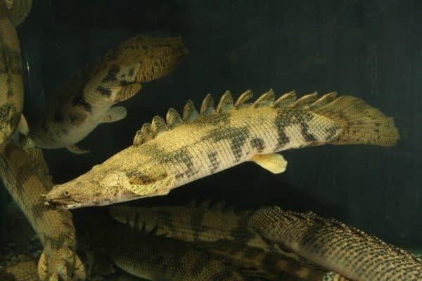 Polypterus endlicheri endlicheri