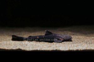 Acrochordonichthys rugosus - Asian Banjo Catfish