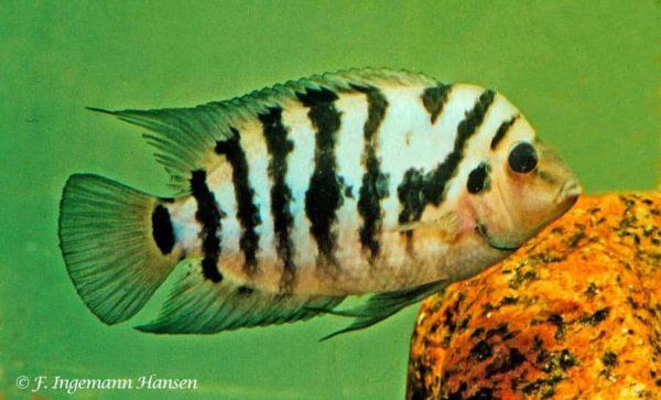 Amatitlania kanna - Manhan - captured in Rio Guarumo - Panama