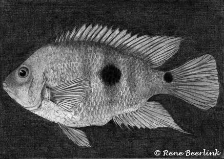 Amphilophus globosus 1