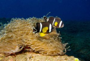 Amphiprion chrysogaster over their Stichodactyla mertensii