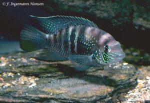 Andinoacara sapayensis - Sapayo Cichlid